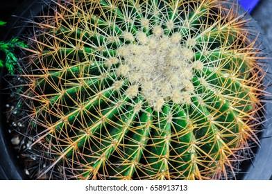 Close up thorns of cactus