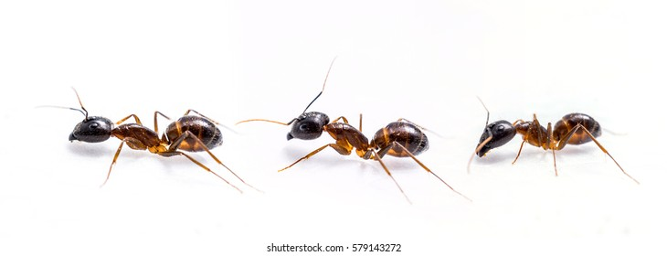 close up three ant on white background.