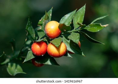 close up of three beautiful fruits of a ruscus aculeatus (butcher´s broom) plant