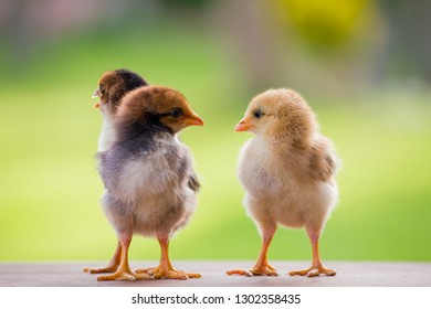 Close up three chicks friends from front view and back view on hen house in the farm pattern background, Beautiful and adorable chickens on wooden floor for concept design and decoration