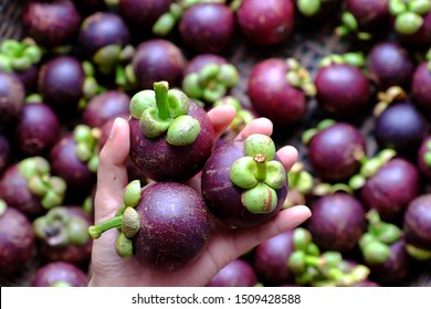 Close up three mangosteen in woman hand on blurred mangostana garcinia background, kind of tropical fruit that juicy, delicious with violet hard rind