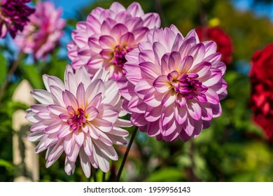 Close up of three pink and white Dahlia flowers in sunlight, with other colorful flowers in the soft background