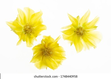 close up of three yellow flowers of opuntia compressa on white