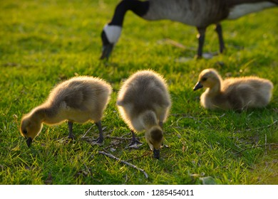 Close up of three yellow goslings at sundown with parent Canada Goose in background
