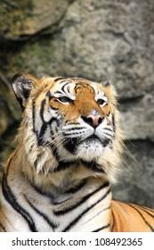 Close up tiger