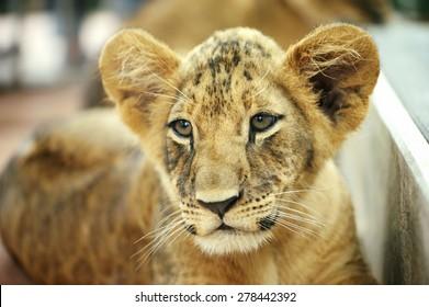 close up tiger baby