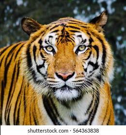 Close up Tiger face.
