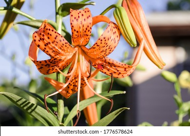 close up of a Tiger Lily bloom at sunrise