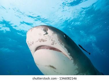 Close up of Tiger shark.