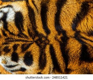 close up tiger skin texture.