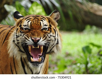 tiger face images stock photos vectors shutterstock