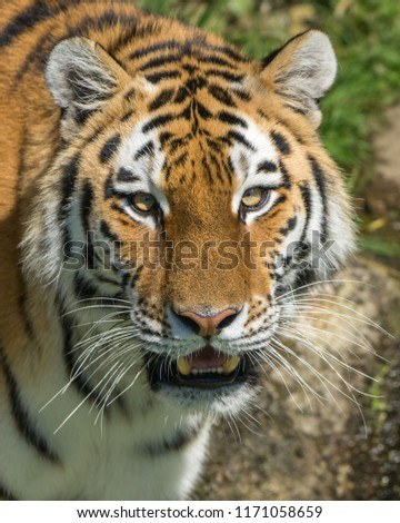 close tigers face open mouth stock photo edit now 1171058659