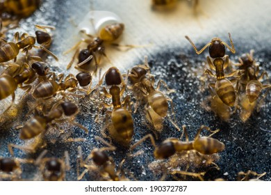 Close up of tiny household thief ants feeding on sweet