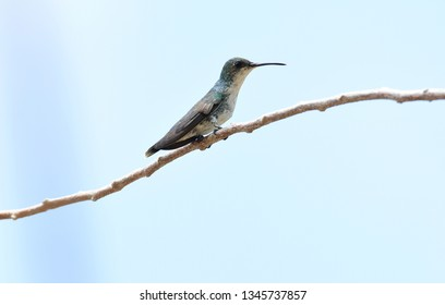 Close up of a tiny Sapphire-throated Hummingbird (Lepidopyga coeruleogularis) female perched on a branch