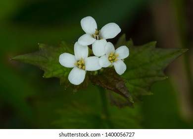 Close up of tiny white Garlic Mustard flowers. Also known as Garlic Root, Penny Hedge, and Poor Man's Mustard. Taylor Creek Park, Toronto, Ontario, Canada.