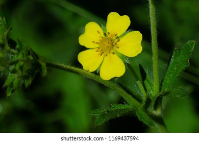 Close up of a tiny yellow Sulphur Cinquefoil flower. Also known as Rough-fruited Cinquefoil. Colonel Samuel Smith Park, Toronto, Ontario, Canada.