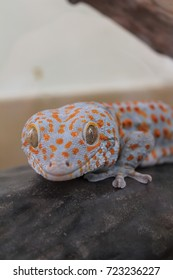 close up of Tokay gecko