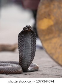 Close up of a toothless black cobra in Jemaa El Fnaa square in Marrakesh, Morocco