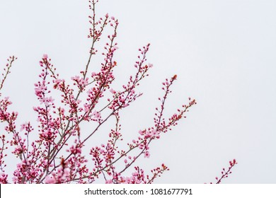 A close up of the top part of the crown of the cherry tree with cherry blossoms and snow on top of them positioned in the left corner isolated on a white background shot in extreme weather.