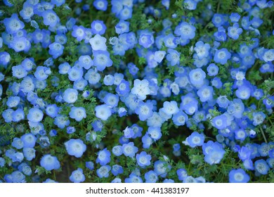 Close up and top view over a field of blue Nemophila flowers