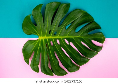 Close Up Top View Texture Philodendron Split Green Leaf Monstera deliciosa Foliage . Tropical Rainforest Plant on Minimal Pastel Green and Pink Colour Background .