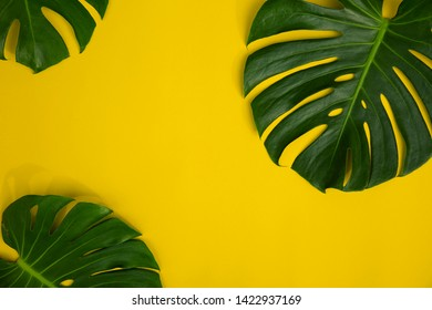 Close Up Top View Texture of Real Philodendron Split Green Leaf Monstera deliciosa Foliage . Tropical Rainforest Plant on Minimal Pastel Colour Background with Space for Text , Horizontal Flat Lay .