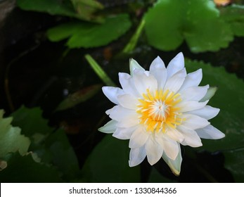 Close up in top view of white color blooming water lily or lotus flower (Nymphaea alba, Nymphaea lotus) with blurred green leaves in lotus basin.