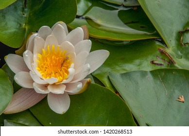 Close up in top view of white color blooming water lily or lotus flower (Nymphaea alba, Nymphaea lotus) isolated on white background. Free space for your text.