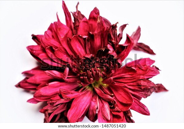 close-top-view-wilted-red-600w-148705142