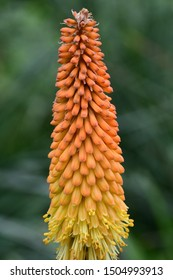 Close up of a torch liy (kniphofia) flower