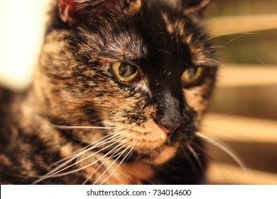 A close up of a tortoiseshell pet cat's face. The tortie cat has black and yellow fur and long whiskers. The pet cat is laying on her side.
