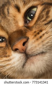 close up toyger kitten face cat nose and mouth