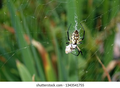 close up of trampoline spider and its web with green plants in the background