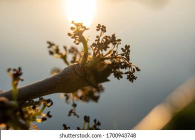 Close up of tree branch bud with water in background at sunset