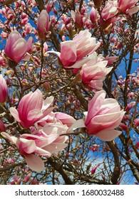 Close up tree magnolia blossom