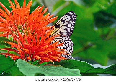 close up of a tree nymph butterfly in a Mexican honeysuckle flower
