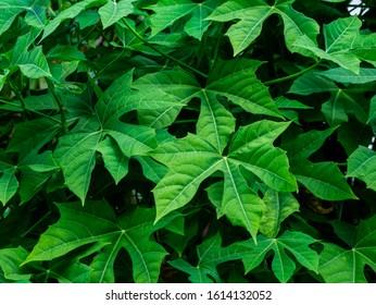 Close up Tree spinach or Chaya (Cnidoscolus Chayamansa McVaugh).