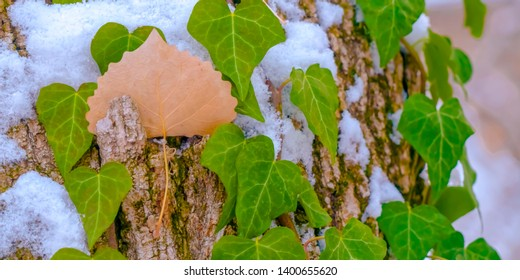 Close up of a tree with vines and algae growing on its brown bark in winter