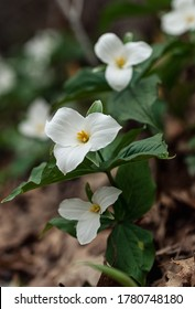 Close up of trillium flowers blooming on the forest floor in Ontario.