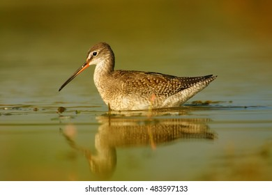 Close up Tringa erythropus, Spotted redshank, shorebird in its typical environment, swimming in water. Orange vegetation mirroring in water. Migratory stop in wetlands of  Czech republic.
