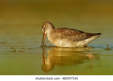 Close up Tringa erythropus, Spotted redshank, shorebird in its typical environment, looking for insects. Orange vegetation mirroring in water. Migratory stop in wetlands of  Czech republic.