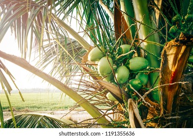 Close up tropical coconut tree under hot sunny day surrounded by green paddy field