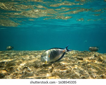 Close up of tropical fish, surgeonfish uderwater with copy space