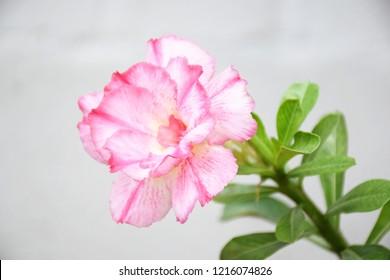 Close up of tropical flower pink adenium desert rose floral background