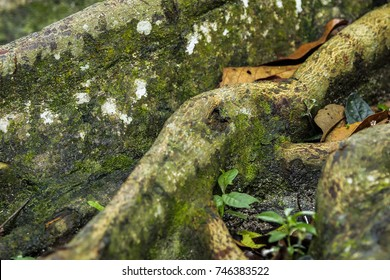 Close up of tropical tree roots.