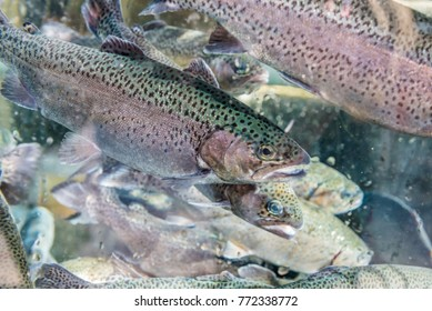 Close up of trout fish in an artificial pond.Breeding of trout for food industry.Masukiye,Kocaeli,Turkey
