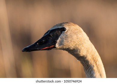 A close up of a Trumpeter Swan