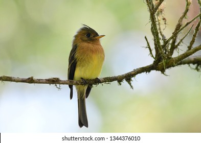 Close up of a  Tufted Flycatcher (Mitrephanes phaeocercus)  perched on a tree branch
