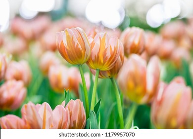 Close up tulips in the garden, Colorful tulips meadow nature in