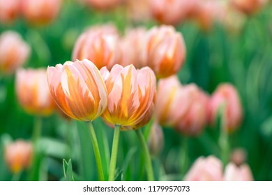 Close up tulips in the garden, Colorful tulips meadow nature in spring